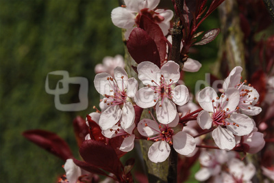 Zarte Blüten in rosa