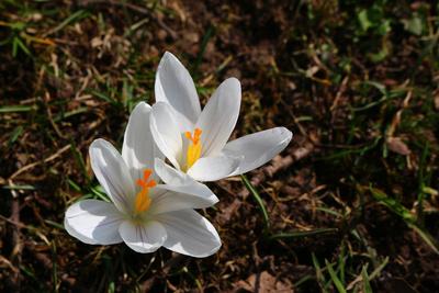 Frühlingspracht in weiß