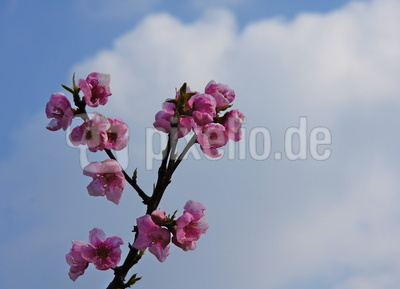 Mandelblüte 3