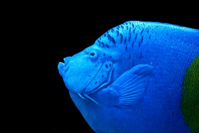 Arabischer Kaiserfisch Portrait