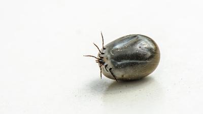 Zecke004
