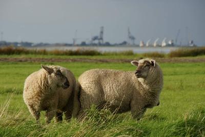 Schafe in Norddeutschland