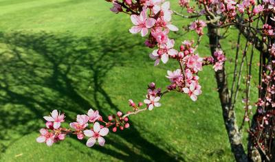 Frühlingsboten (jap. Kirschblüten)