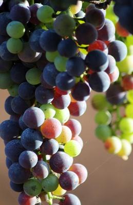 Frischer Wein