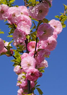 Zweig mit Mandelblüten