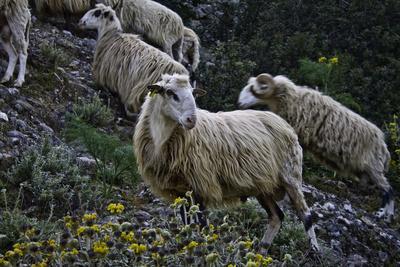 Bergschafe auf Kreta