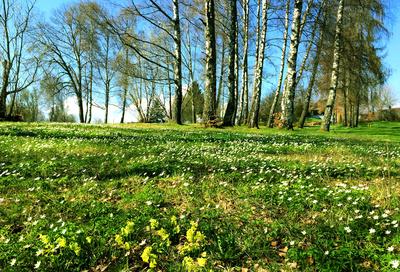 Birken und Blüten