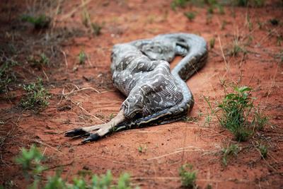 Python verschlingt Antilope