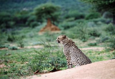 Gepard in Okonjima