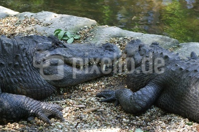 Alligatoren Zweisamkeit