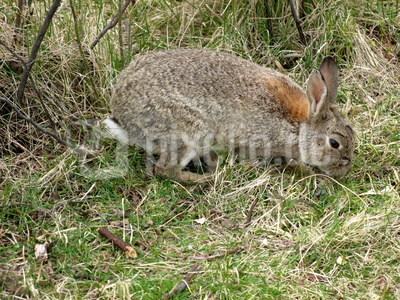 Kaninchen am Weg