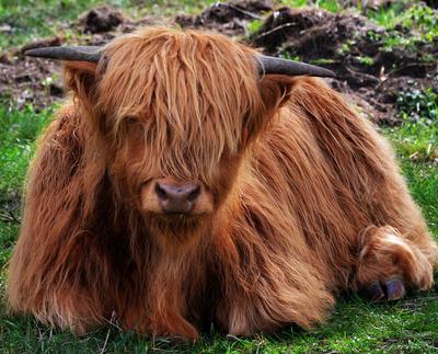 schottisches Hochland-Rind