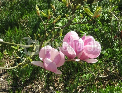 Blüten des Tulpenbaums