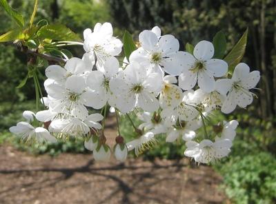 Kirschblüten vor dunklem Hinter- und Untergrund