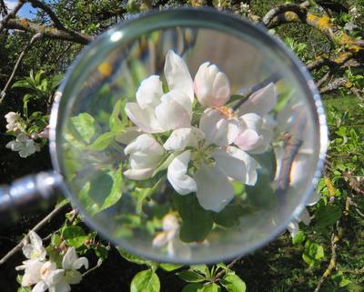 Apfelblüten unter die Lupe genommen