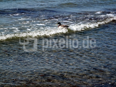 Ente im schäumenden Wasser