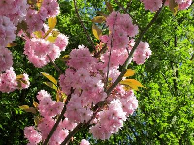 Rosa Kirschblüten