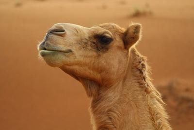 Oman - Kamel