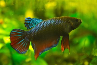 Kleiner Kampffisch