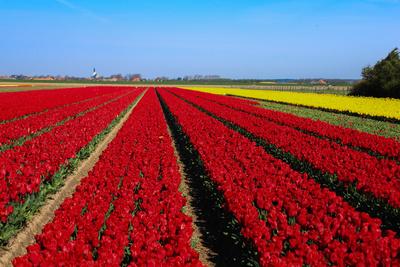 Tulpenfelder 1