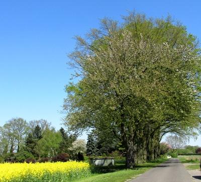 Blühende Strassenbäume