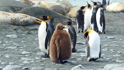 Vollschlanker Pinguin