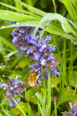 Fleissige Biene nach dem Regen