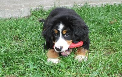 Kleiner Berner Sennenhund
