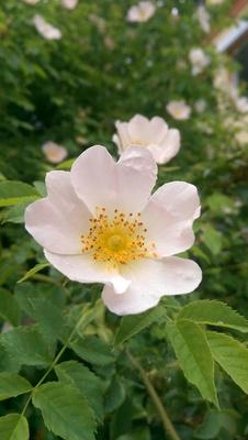 Buschrosen Blüten