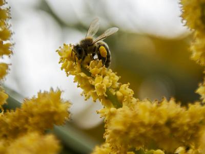 Biene beim Sammeln von Pollen