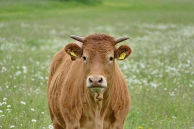 Limousin-Rind auf Weide