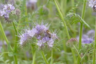 Biene mit Phacelia