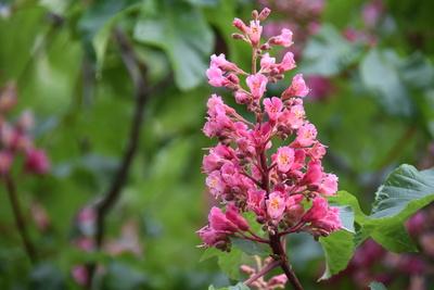 kastanienblüte,Rot
