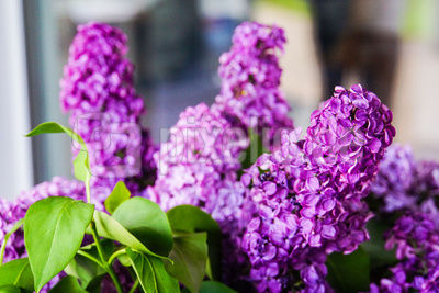 Fliederblüten lila