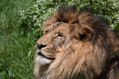 Löwen-Portrait