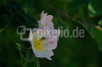 Hecken-Rose, Busch-Rose