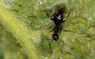 Ameise bei Blattlauspflege