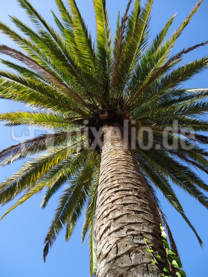 Palmenkrone im Fokus