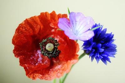 Blüten aus dem Kornfeld