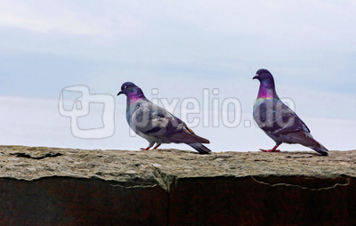 Taubenpärchen