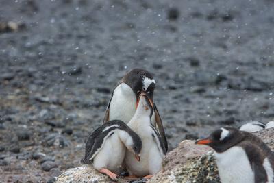 Antarktischer Mitesser