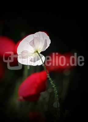 weiße Mohnblüte im Licht