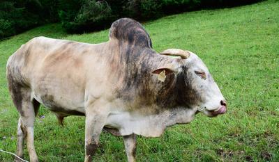Zarte Rinderzunge vom Buckelrind