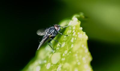 Fliege VI