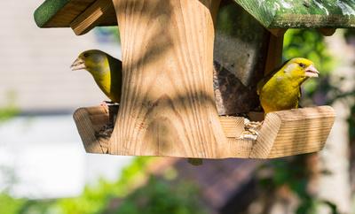 Zwei Grünfinken am Futterhaus