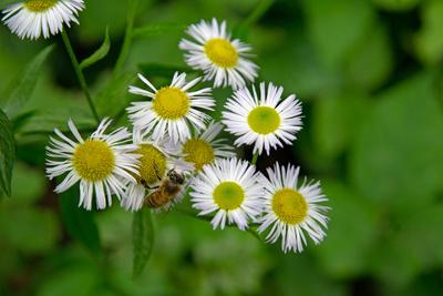 Margariten/ Leucanthemum