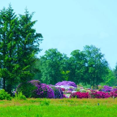 Rhododendron im Ipweger Moor
