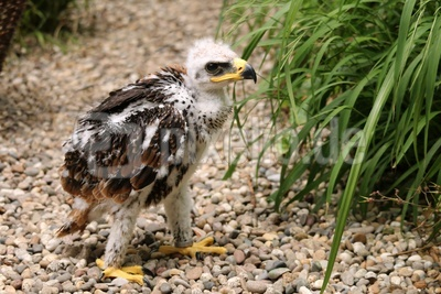 junger Adler 5 Wochen alt
