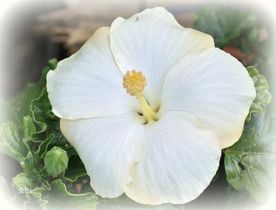 Hibiscus weiß