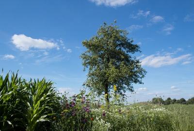 Maisfeld und Blumenwiese